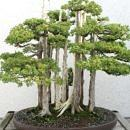bosque_bonsai