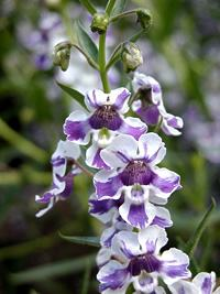 Angelonia angustifolia,