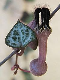 Ceropegia woodii,