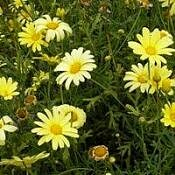 Margarida-de-paris - Argyranthemum frutescens