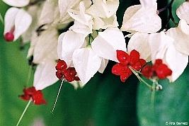 Clerodendrum thomsonae, Clerodendro-trepador