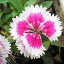 dianthus_chinensis