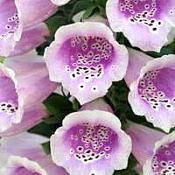 Dedaleira - Digitalis purpurea