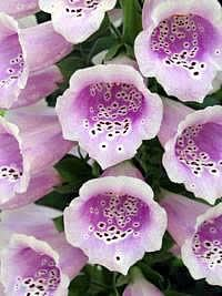 Digitalis purpurea, Abeloura, Digital, Digitalina, Erva-albiloura, Erva-dedal