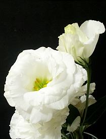 Eustoma grandiflorum, Genciana-do-prado
