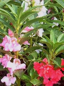 Impatiens Seeds and Plants  New Guinea African and