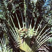 Árvore-do-viajante - Ravenala madagascariensis