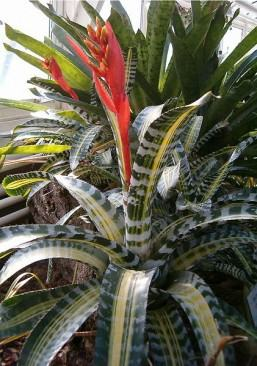 Aechmea chantinii,