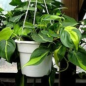 Filodendro-brasil - Philodendron hederaceum