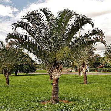 Dypsis decaryi, Palmeira-triangular, Palmera-de-tronco-triangular, Neodipsis, Palma-triangular