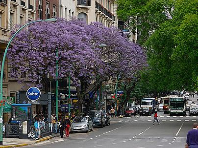 A florada do Jacarandá. Foto de Beatrice Murch