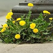 Dente-de-leão - Taraxacum officinale