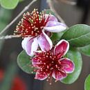 Feijoa - Acca sellowiana