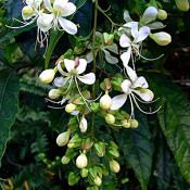 Clerodendro-branco - Clerodendrum wallichii