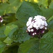 Hortênsia-filipina - Clerodendrum chinense
