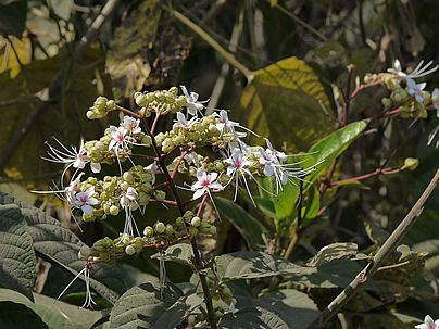 Clerodendrum infortunatum, Clerodendro-do-morro, Clerodendro, Flor-do-montouro, Clerodendro-odorífico