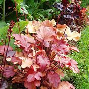 Heuchera - Heuchera sp.