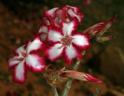Adenium multiflorum, Rosa-do-deserto