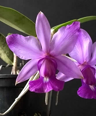 Cattleya walkeriana,